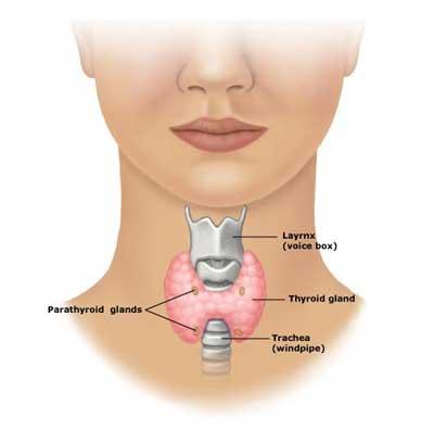 thyroid-gland
